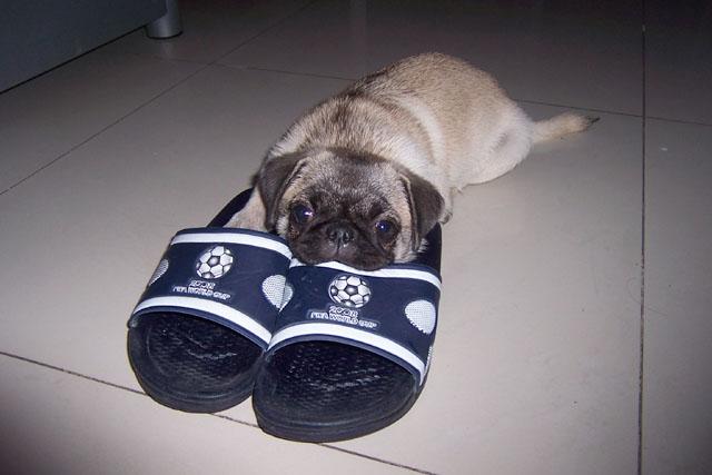 小馋狗啃拖鞋