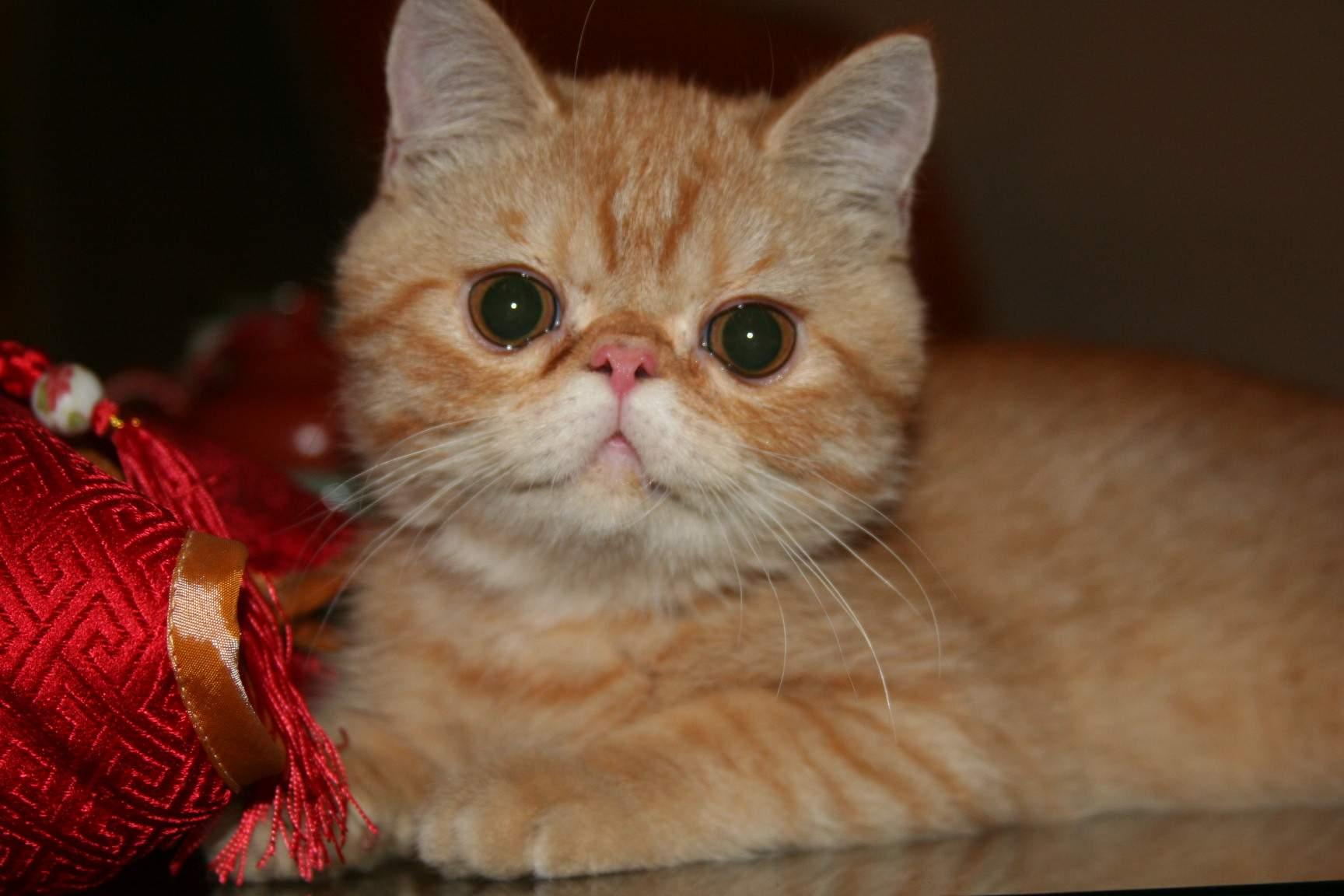 请问大家:加菲猫的原型是什么品种?