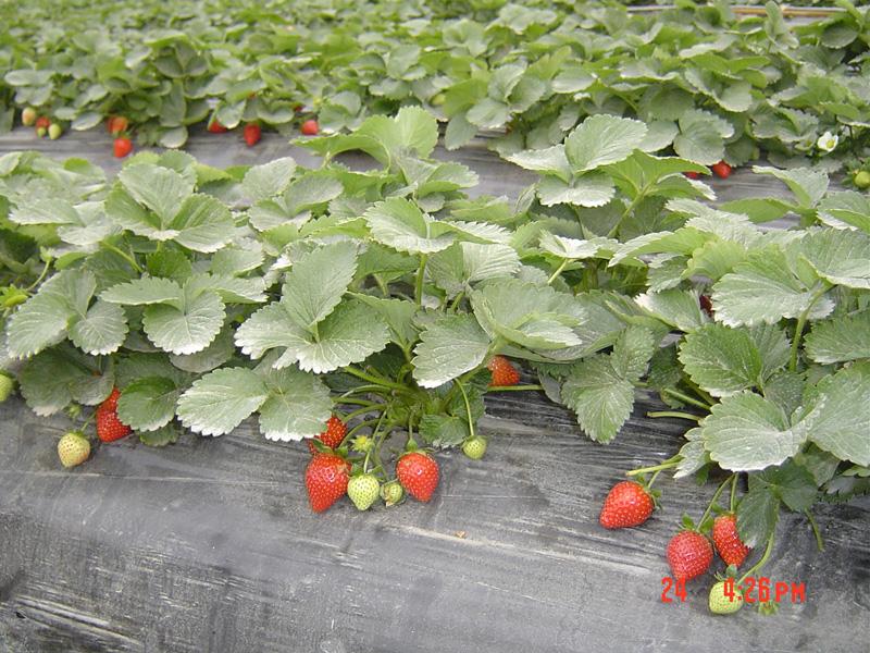 在大浪路口的草莓园