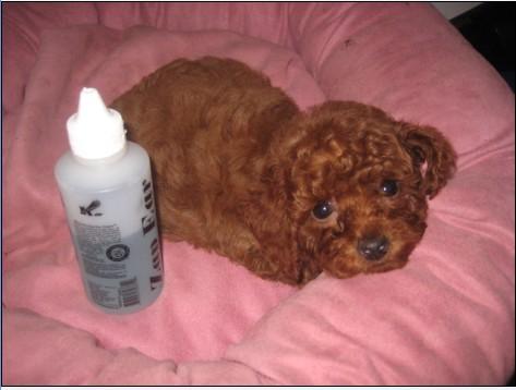 家养超级可爱玩具体红贵宾泰迪熊宝贝!找新家 - 宠物
