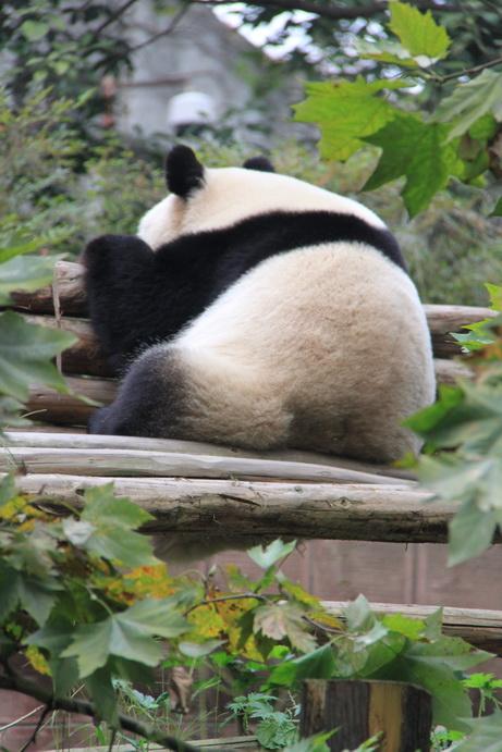 > 可爱的大熊猫和小熊猫(内空)