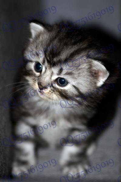 小猫咪的新照片出来了,美国短毛小时候真可爱