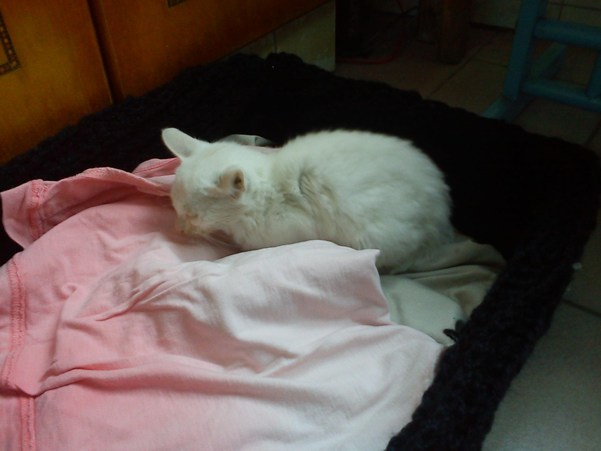 可怜的小猫求领养!~~白色(不是品种猫)