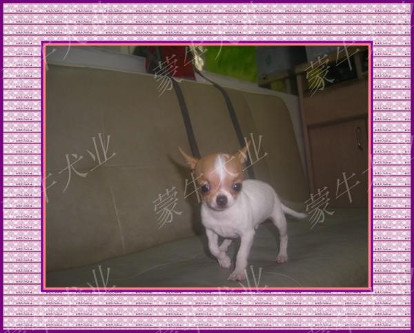 世界上最小的宠物狗
