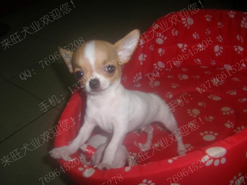 世界上最小的狗-正宗苹果头吉娃娃