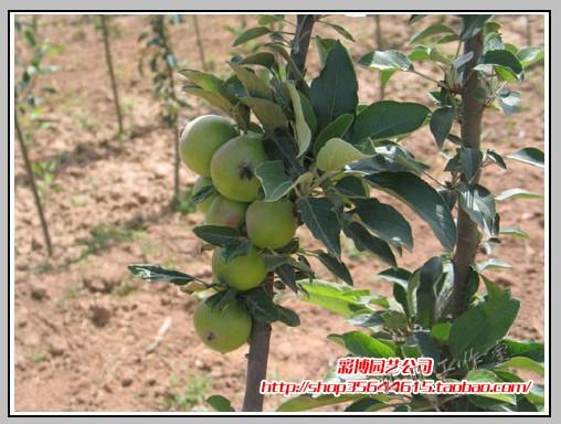 > 新品种果树苗,苹果苗柱状苹果(润太一号,20株一个包装) 20元一棵.