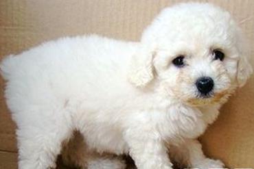 小泰迪转让,毛色白色,体型玩具型,自己养的,身体胖胖的,十分可爱,目前
