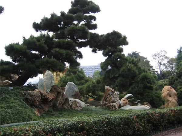 盆景 盆栽 树 松 松树 植物 600_450