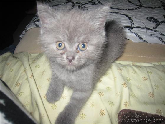超级可爱黏人折耳蓝猫宝宝找新家