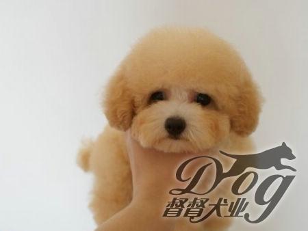 超级可爱的玩具贵宾犬 茶杯泰迪犬 泰迪熊幼犬