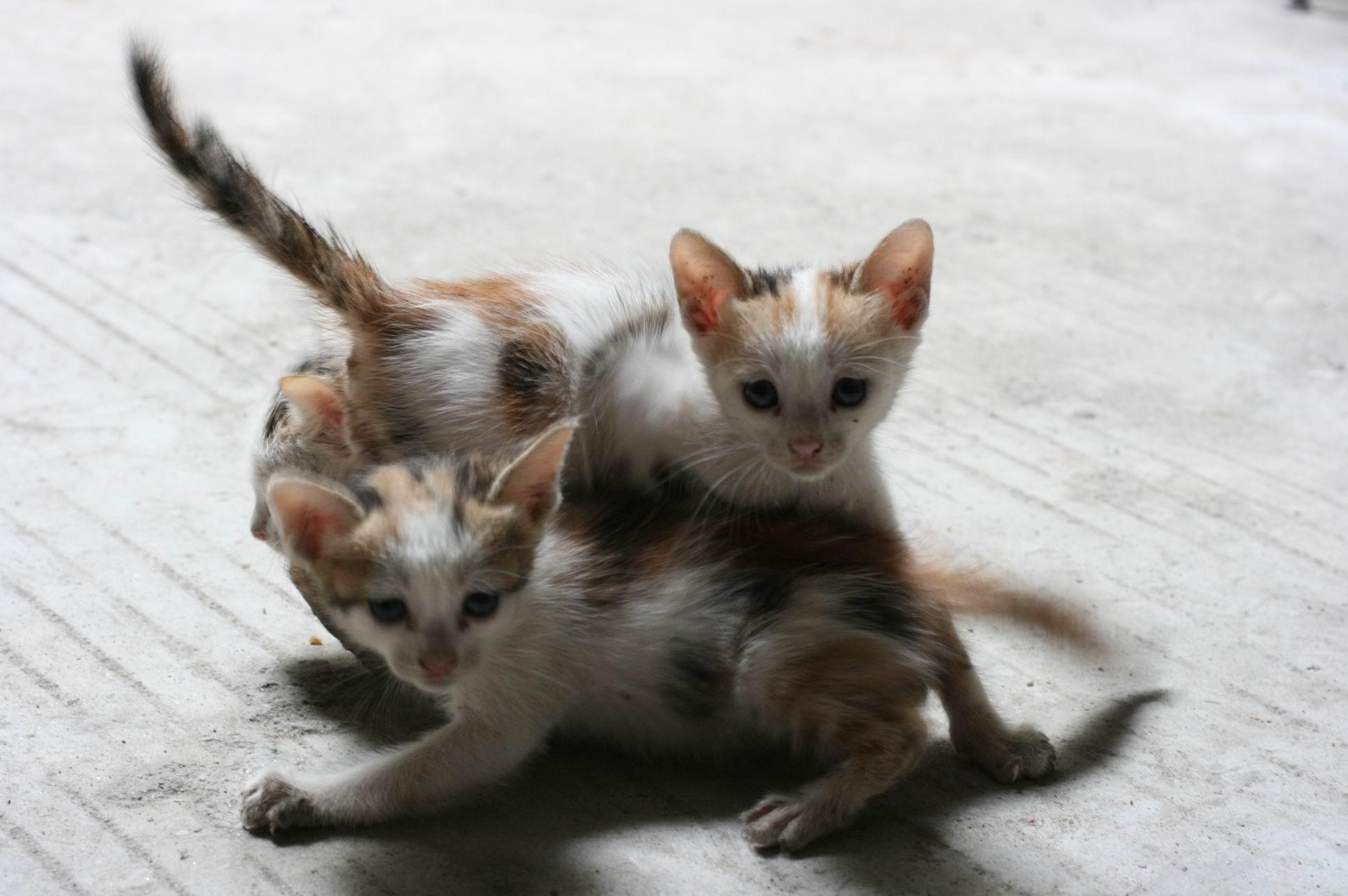 三只非常可爱的小猫等待爱心人士的领养
