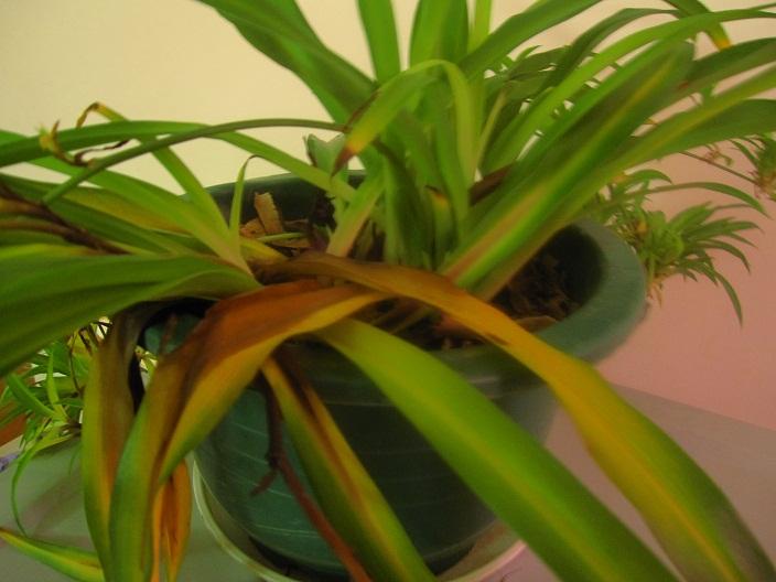 掉兰植物根部结构图