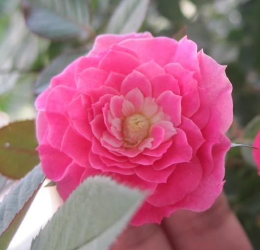 可爱的一朵玫瑰花