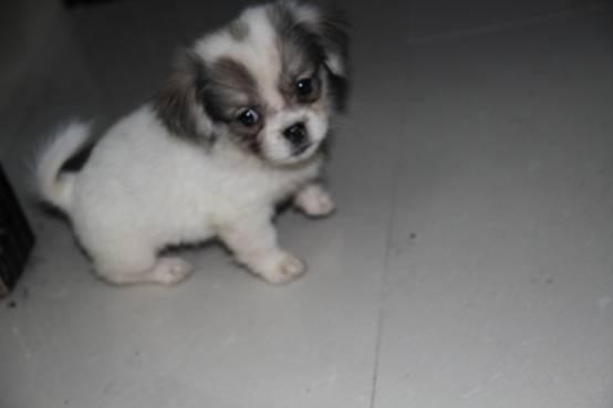 刚出生可爱小狗出让