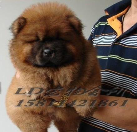 超级可爱的松狮宝宝出售--乐都宠物会所