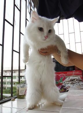 宠物 猫咪乐园  > 免费赠送纯白波斯猫