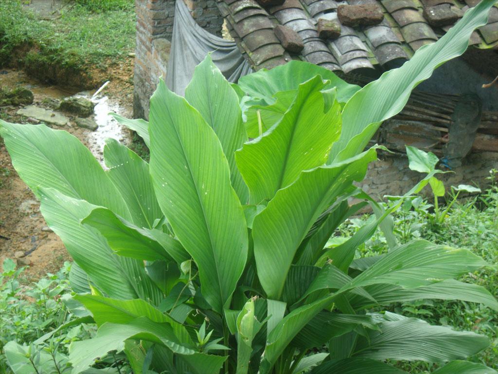 盆栽粽子树叶图片