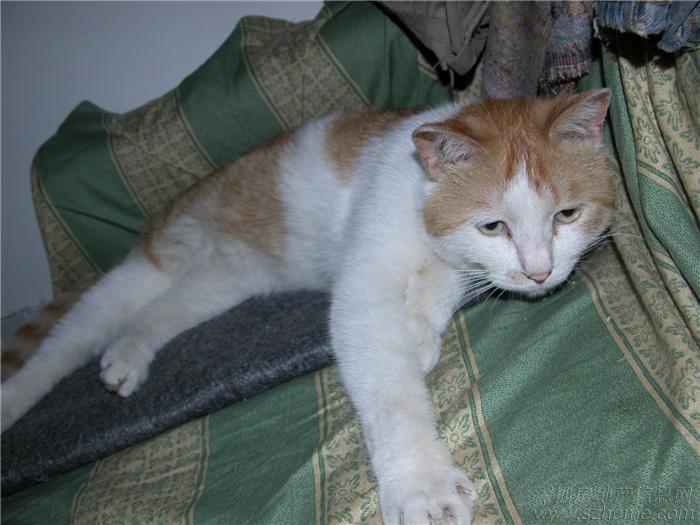 黄白花纹蓝眼睛的招财猫倒贴免费送