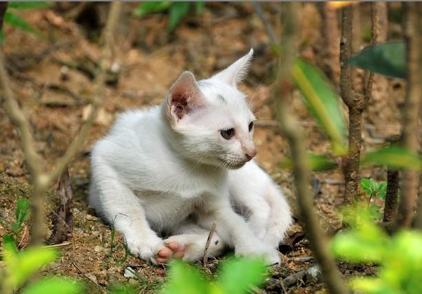 五只纯白小萌猫待领养