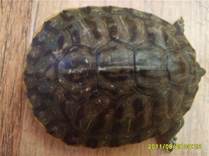 巴西龟不吃东西,闭眼,壳上有白点,求助呀求助呀