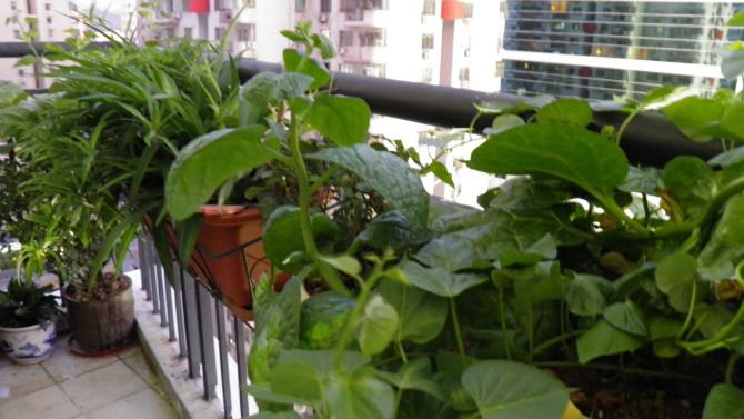 > 清理阳台送桂花树,柠檬树,桔子树,鸡蛋果,八成新长条挂盆几个,(统统