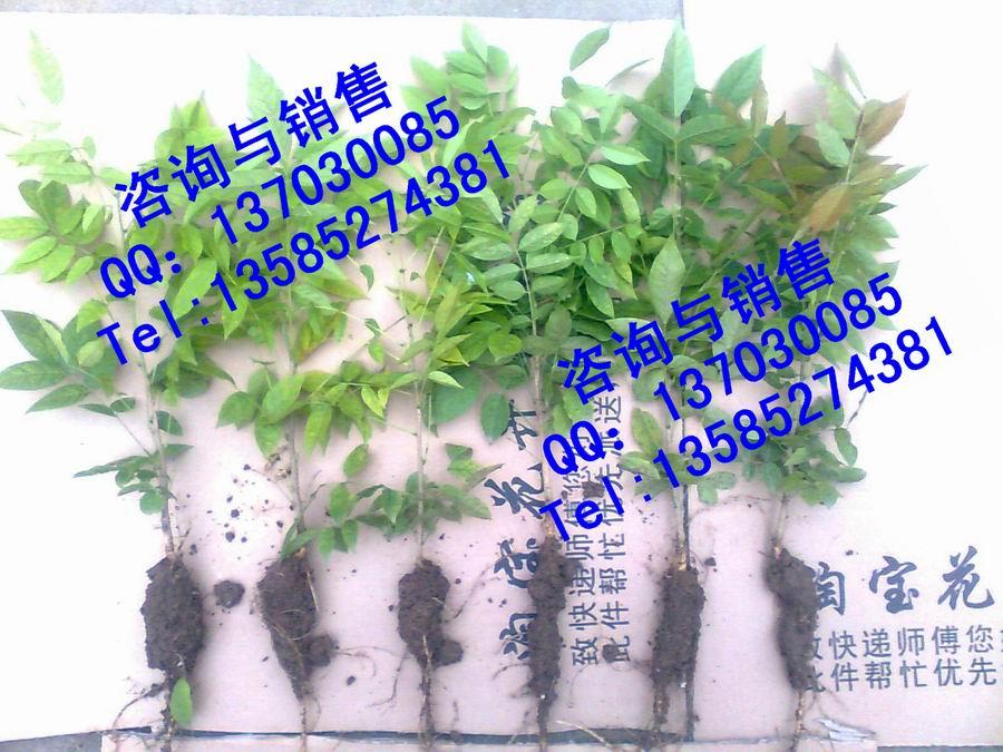 美丽的多花紫藤苗.特价销售.高度30厘米包成活率!