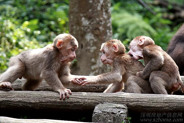 手腕上涨猴子_              两只猴子在掰手腕