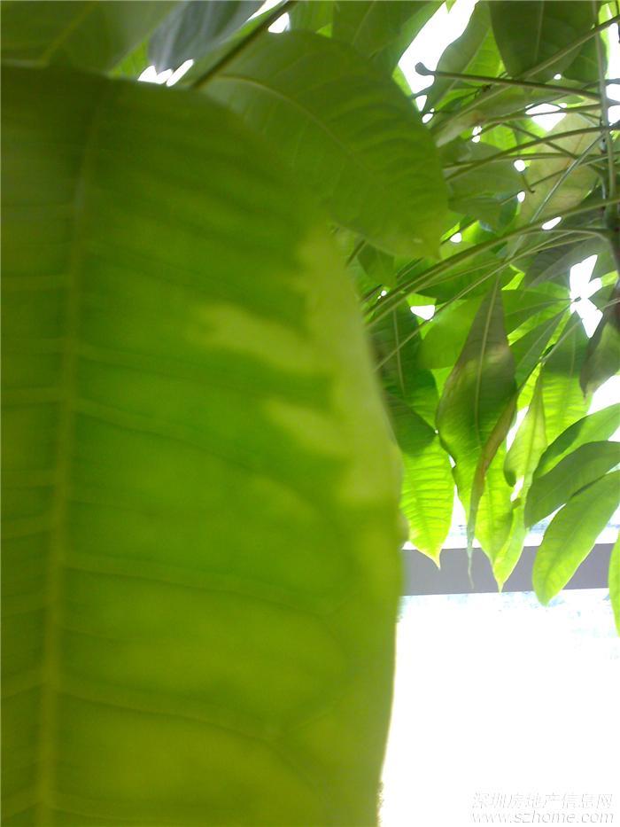 求助:发财树树叶枯黄变薄