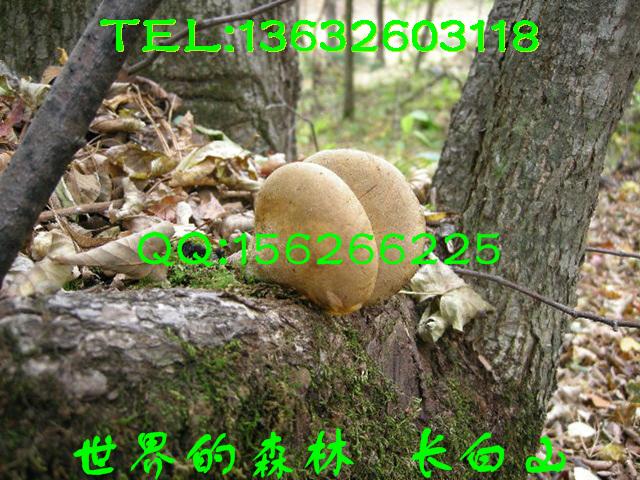 种的长白山黑木耳 肉厚 爽滑有弹性,新鲜的红松子 大 ...